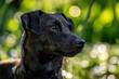 głowa czarnego psa na rozmytym tle