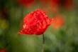 kwitnące czerwone maki na zielonej łące