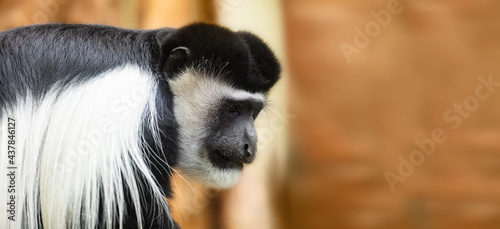 Fotografiet Gibbon monkey portrait