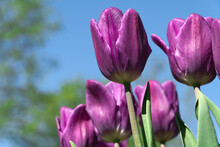 Bottom View Of Beautiful Pink Tulips On A Background Of Blue Sky In The Park