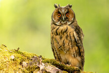 Long Eared Owl, Juvenile.  Scientific Name: Asio Otus.  Close-up Of A Young, Long Eared Owl Perched On A Mossy Green Log And Facing Forward.  Clean Background.  Horizontal.  Space For Copy.