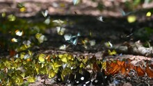Butterflies Of All Kinds Flying Around And Also Feeding On Minerals On The Ground In Kaeng Krachan National Park In Thailand During A Lovely Sunny Day.