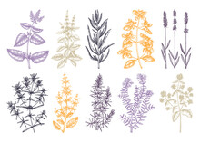 Traditional Provence Herbs Collection - Savory, Marjoram, Rosemary, Thyme, Oregano, Lavender. Hand-sketched Kitchen Herbs, Aromatic And Medicinal Plants Illustration.