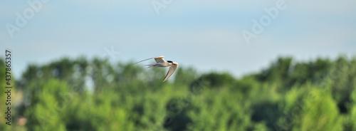 Canvastavla Sterne Pierregarin / (En) Common Tern