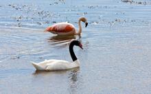 Zwarthalszwaan, Black-necked Swan, Cygnus Melancoryphus