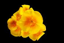 Vue Du Dessus D'un Bouquet De Pavot De Californie Sur Fond Noir