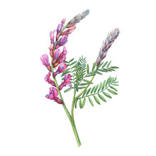 Close-up, Branch Of The Pink Common Sainfoin Flowers In Spring (known As Onobrychis Viciifolia, O. Sativa). Mouse Peas. Watercolor Hand Drawn Painting Illustration Isolated On A White Background.