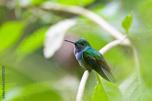 Fototapeta premium Blauwbuikamazilia, Blue-chested Hummingbird, Amazilia amabilis