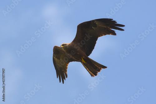 Slika na platnu nibbio bruno (Milvus migrans) in volo su sfondo cielo,ritratto silhouette