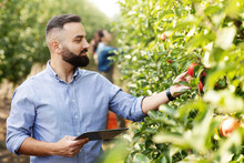 Agronomist Inspecting Orchard And Using Tablet, Eco Organic Harvest And Modern Device