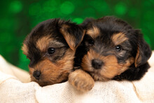 Two Small Yorkshire Terrier Dogs Hugging Each Other