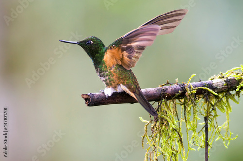 Fototapeta premium Bruinstaarthoornkolibrie, Buff-tailed Coronet, Boissonneaua flavescens
