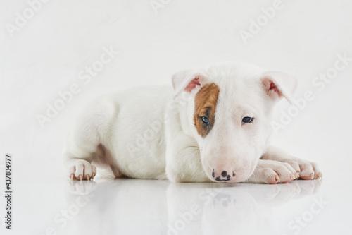 Canvastavla Bull terrier dog isolated against grey background