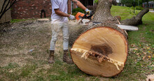 Felled Tree Cut Into Pieces With Chainsaw - Large Trunk Suburban Tree Removal