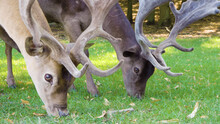 Two Deer Eating Grass Close-up