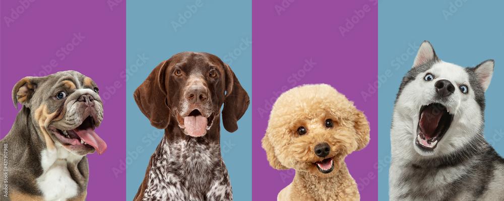 Leinwandbild Motiv - master1305 : Art collage made of funny dogs different breeds on multicolored studio background.