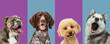 Leinwandbild Motiv Art collage made of funny dogs different breeds on multicolored studio background.
