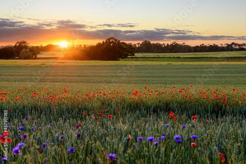 Fototapeta The Sun setting on a field of poppies, Jutland, Denmark.