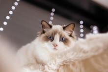 Ragdoll Kitten Blue Cute Eyes