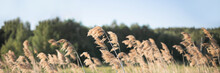 Pampas Grass On The River In Summer. Natural Background Of Golden Dry Reeds Against A Blue Sky. Selective Focus. Banner