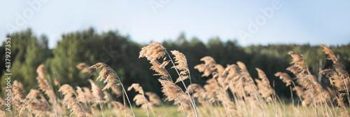 Obraz na płótnie Pampas grass on the river in summer