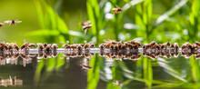 Apiculture - Groupe D'abeilles Buvant Dans Un Bassin Rempli D'eau