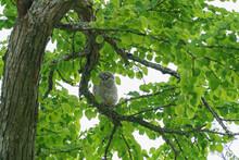 北海道 エゾフクロウの雛(幼鳥)