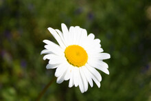 Oxeye Daisy Flower Head Close Up On Foliage Background