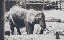 Kleiner Elefant Im Serengeti Tierpark - Nahaufnahme Des Zahmen Dickhäuters