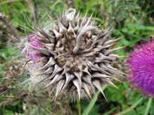 Dry Prickly Plant