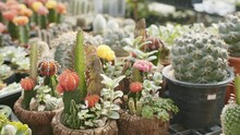 A Couple Of Ruby Ball Cactus Surrounded By A Large Golden Barrel Cactus, Close Up