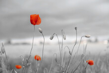 Beautiful Nature Background With Red Poppy Flower For Remembrance Day