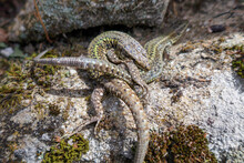 Two Lizards Fighting And Biting Each Other. Natural Combat. Teeth Attack
