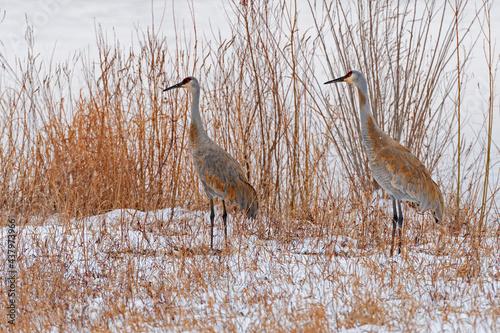 Fototapeta premium A Pair of Sandhill Cranes in the snow and grasses