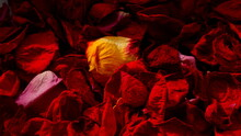 Background From Rose Petals Of Different Colors. Lots Of Dry Rose Petals. Background From Petals. Vivid Saturated Colors. Yellow Red. Bright Yellow Rose Petal Among Many Red Petals.