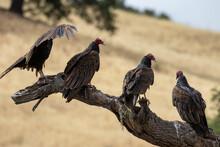 California Vultures In Santa Barbara
