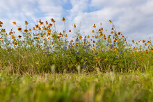 Mexican Hats, Wildflowers In A Field, Blue Sky Background