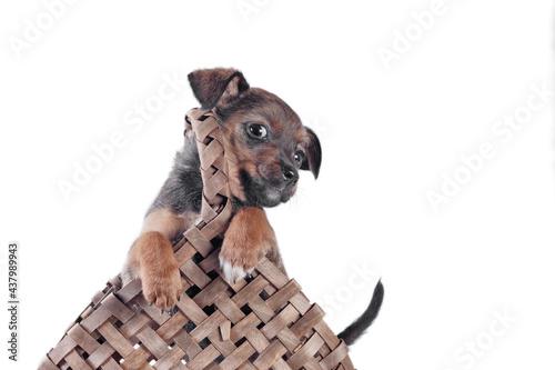 Fotografie, Obraz mongrel puppy in a wicker basket with a handle