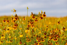 Mexican Hats And Yellow Prairie Coneflowers In A Field, Blue Sky Background