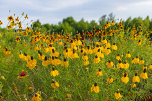 Yellow Prairie Coneflowers And Mexican Hats, Wildflowers In A Field
