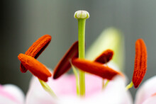 Close Up Of Hibiscus Flower Stigma And Anther