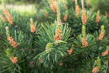 Young Green Bump On Branches Of Pine Growing In Forest. Male Cones Of A Pine. Collect Pine Shoots During Growth Period For Cooking Broths. Using Pine Parts In Cosmetics And Medicine