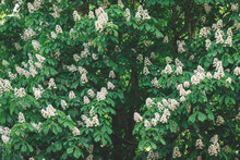 Beautyful White Flowers On A Horse Chestnut Tree On A Spring Day. Selective Focus