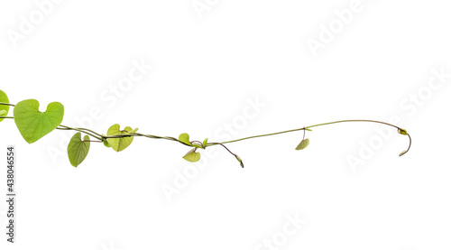 Fotografía Twisted jungle vines liana plant with heart shaped green leaves isolated on white background, clipping path included
