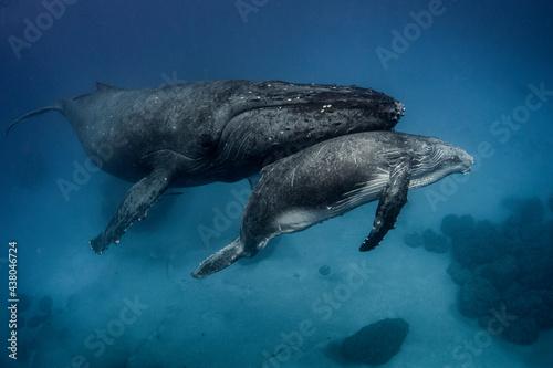 Obraz na plátně Female humpback whale with calf