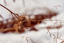 Dry Spins Of Burdock On The Background Of White Snow