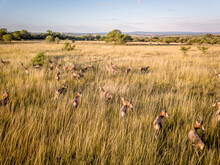 Drone Picture Of A Herd Of Blesbok.