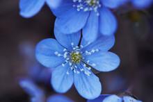 Close-up Of Blue Wood Anemones