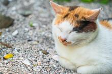 香箱座りで昼寝をする三毛猫【神奈川県・城ヶ島】