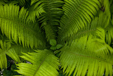 Nice Green Color Fern Leaves Close Up Nature Macro Photography. Fern Leaves Inside The Bush Top View. Beautiful Fern Leaves In Circle With One Small In The Middle. Horizontal Photo